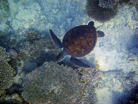 西表島ウミガメ