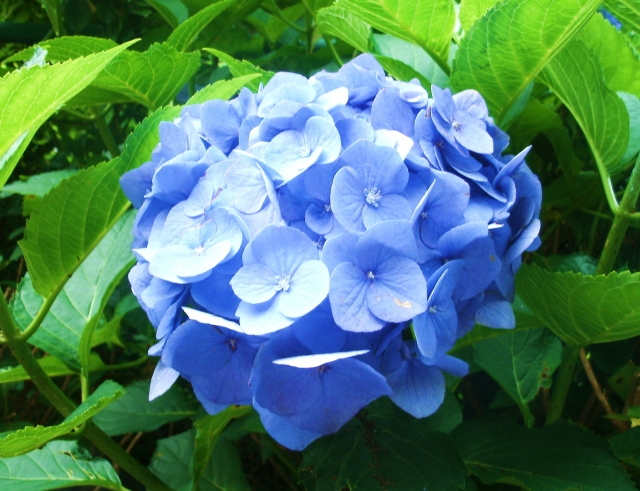 紫陽花.jpg