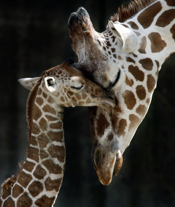 Mom-Giraffe-and-baby-giraffes-28798810-600-710
